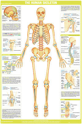 Chartex Skeleton Maxi Poster 61x91.5cm Human Body School Science Learning