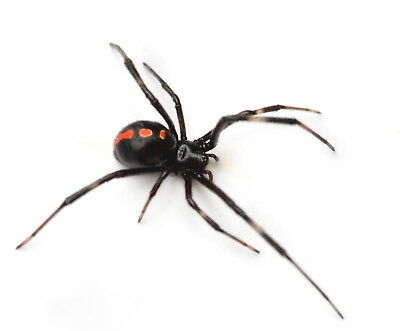 Southern Black Widow Spider Latrodectus mactans Real Male Female Pair Wet