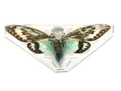 Cicada Tosena splendida Pack of 10 Spread Real Insect Taxidermy