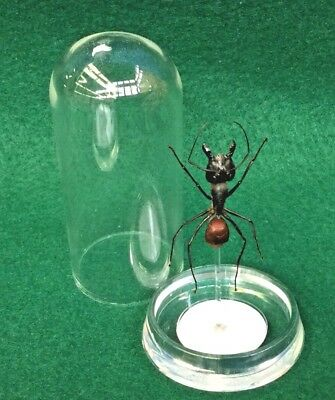 O35 Entomology Taxidermy Large Soldier Ant Glass Dome Display Specimen bullet
