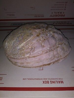 Giant Abalone Conch Sea Shell, All Natural Fossil - Mother of Pearl