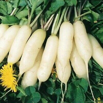 Vegetable Seeds Radish Autumn Giant Russian Open Pollinated NON GMO