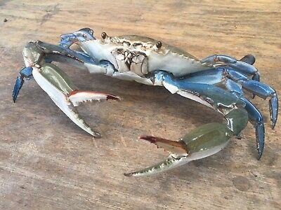 blue crab taxidermy gift item beach Coral  Reef Gulf Limited Time