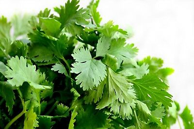 Coriander Herb Flower Seeds Packet 2 GRAMS organic coriandrum sativum cilantro