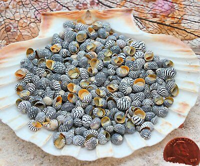 Small Tiny Zebra Nerites Black & White Striped Shells Qty 100 - Free Shipping