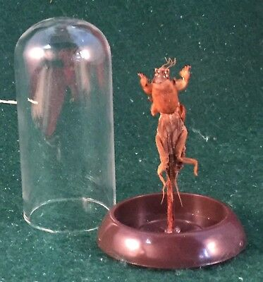 O14A Entomology Taxidermy Mole Cricket Glass Dome Display Specimen locust insect