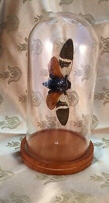 h32 Entomology Taxidermy Real Cicada Glass dome Display Specimen Insect locust