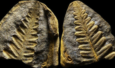 A SUPERB Pecopteris Fern Fossil, Mazon Creek Plant Fossil Concretion