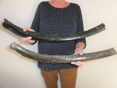 2 Ribs of a Woolly Mammoth, Fossil