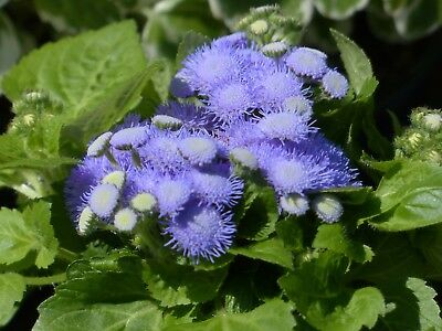 SEEDS DONDO BLUE AGERATUM HOUSTONIANUM Annual Bedding Flower Easy to Grow 700