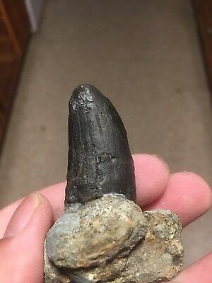 Great Find! Daspletosaurus Tyrannosaurid Tooth MT Two Medicine Formation