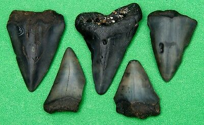 5 Megalodon era fossil sharks: 1 great white tooth and 4 mako teeth