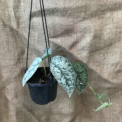 Scindapsus Pictus Silver Pothos Tropical Indoor Foliage Plant