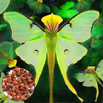 100pcs Phalaenopsis Orchid Seeds Bonsai Rare Orchid Flower Seeds Indoor Dec Q7J9