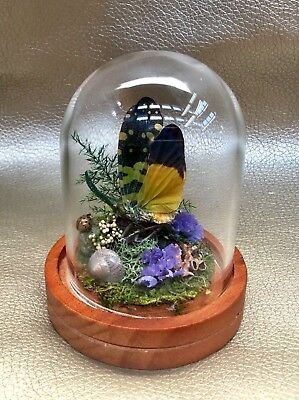 O20 Entomology Taxidermy yellow Winged Lanternfly Glass Dome Display Planthopper