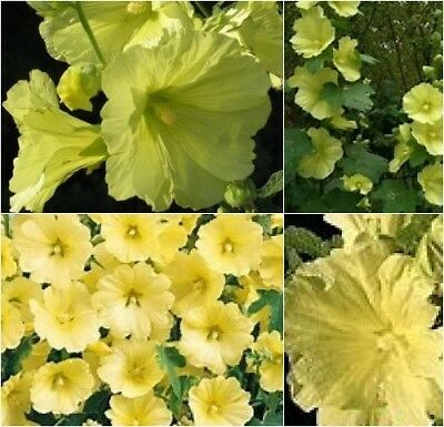 Hollyhock (Alcea) Russian 'Yellow' Seeds  - Perennial Comb/Ship.