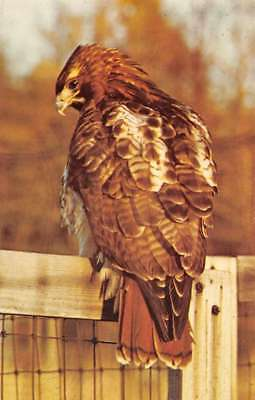 Ithica New York Cornell University Red Tailed Hawk Vintage Postcard A926204
