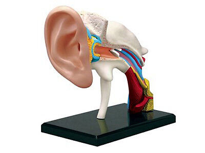 4D Model 22 Parts Ear Anatomy Model Medical Simulation Human Anatomy With Base