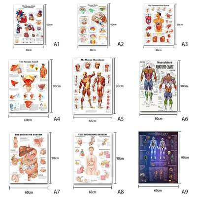 Muscular System Poster Anatomical Chart Body Anatomy Medical Education Picture