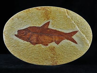 Knightia Eocaena Fossil Fish Green River Wy Eocene Age 3.9 Inches Long Oval Coa