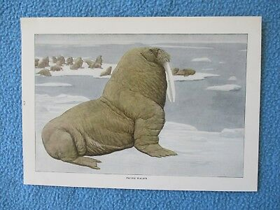 1916 Print by Louis Agassiz Fuertes - Pacific Walrus - I COMBINE SHIP