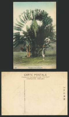 Singapore Old Hand Tinted Postcard TRAVELLERS TREE Palm Tree Straits Settlements