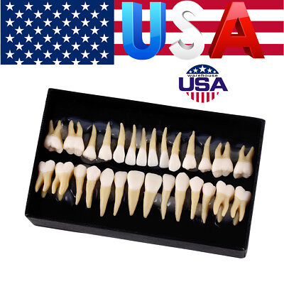 28Pcs/Kit Dental 1:1 Permanent Demonstration Teaching Study Teeth Model 7008#