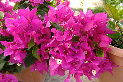 Beautiful young plant Bougainvillea pink rooty cuttings,