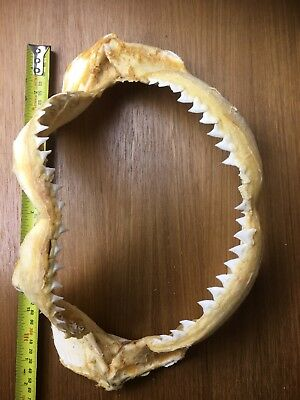 J243 35cm JAVA SHARK JAWS PIGEYE JAW NICE LONG SHARP TEETH TAXIDERMY WALL HANG