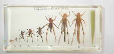 Grasshopper Life Cycle Set Rice Locust Oxya chinensi Real Specimen Teaching Aid