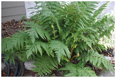 "Woodwardia fimbriata - Giant Chain Fern, Plant in 3.5"" Pot"