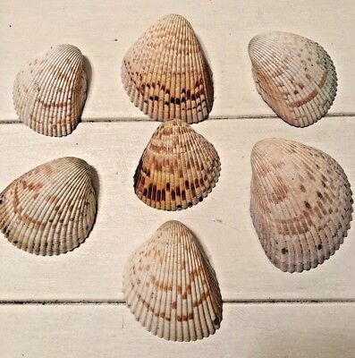"Lot of 7 Large Clam Shells,3""-4"",White/Brown, Beach Decor, Coastal Living"