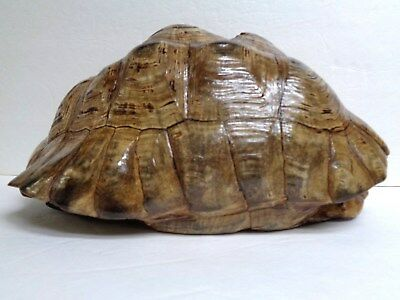 Large African Leopard Tortoise Shell - (Geochelone Pardalis) Taxidermy
