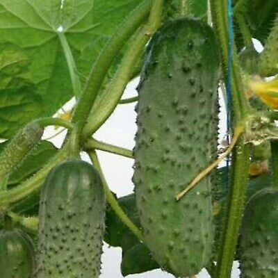 Vegetable Seeds Cucumber Actor F1 Russian Pickling Hybrid NON GMO