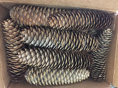 """Pine Cones of 16 count All 3"""" to 5""""s Long small natural cones for sale"""