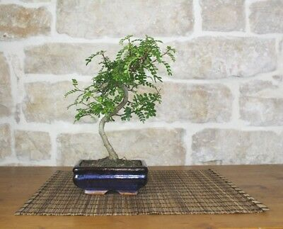 Bonsai di Pepper vaso cm. 15