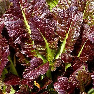 Herb Seeds Leaf Mustard Red Giant Organically Grown Heirloom NON GMO