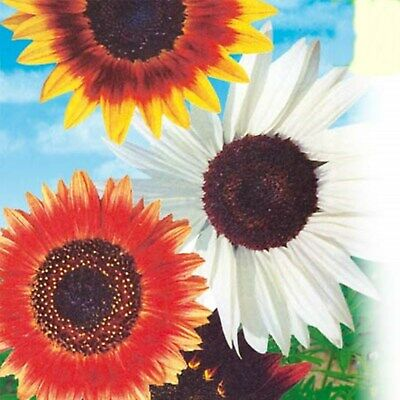 Flower Seeds Decorative Sunflower Leto Mix Helianthus Annuus Annual