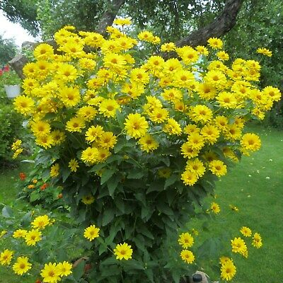 Flower Seeds Rough Oxeye – False Sunflower - Heliopsis helianthoides Perennial