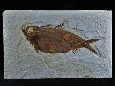 Xxl 4.8 In Knightia Eocaena Fossil Fish Green River Formation Wy Eocene Age Coa