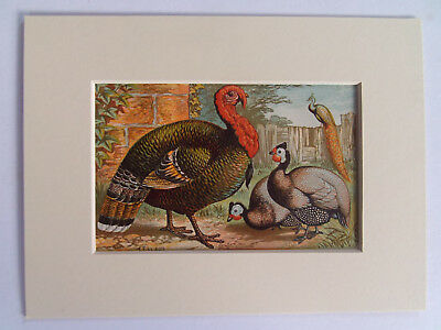 """TURKEY & GUINEA FOWL ANTIQUE PRINT DATED 1880  NEW 6x8"""" MOUNT READY TO FRAME"""