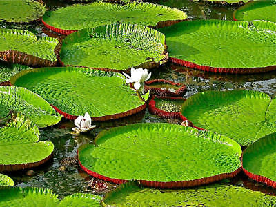 Victoria Giant WaterLily Amazonica (nymphaea caerulea) 4 Reliable Viable Seeds