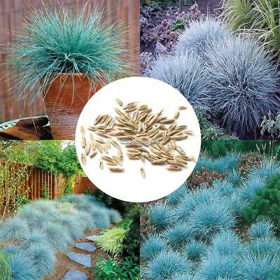50pcs Blue Fescue Herb Hardy Ornamental Perennial Seeds Grass Seeds Pot C1MY 01