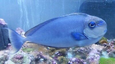 Vlamingi Tang Live Saltwater Fish Naso Vlamingii Show Size 14 Local