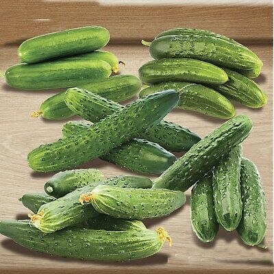 Vegetable Seeds Cucumber Winter Town F1 Mix Self Pollinating Indoor All Year