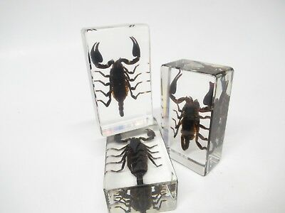 Scorpion in Lucite, Resin, Taxidermy