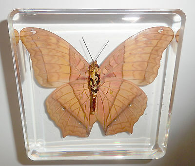 The Cruiser Vindula erota Butterfly N in Clear Block Education Insect Specimen