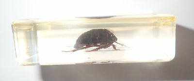 Turtle Cockroach in 73x40x22 mm Amber Clear Block Education Insect Specimen