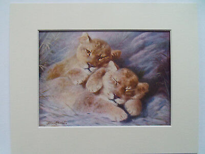 """LION CUBS ANTIQUE PRINT DATED 1920's IN 10""""x8"""" MOUNT READY TO FRAME"""