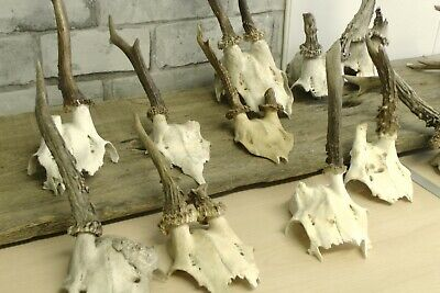 Roe Deer Antlers on Skull NATURAL / HOME WALL DECOR / Taxidermy